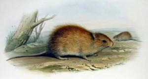 rat-mus-gould