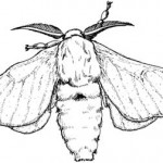 bombyx
