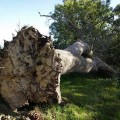 arbre-abattu-coupe-tombe