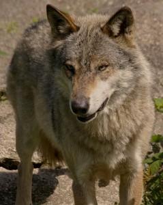 attaques du loup